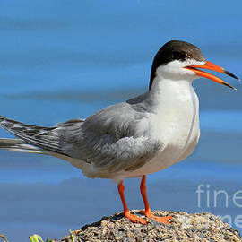 Forster's Tern Nature Portrait by Regina Geoghan