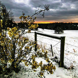 Forsythia Snowy Sunset by Norma Brandsberg