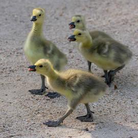 Four Goslings 4/30 by Bruce Frye