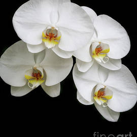 Four White Orchids by Sabrina L Ryan
