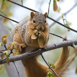Fox Squirrel Eating Helicopters by Don Northup