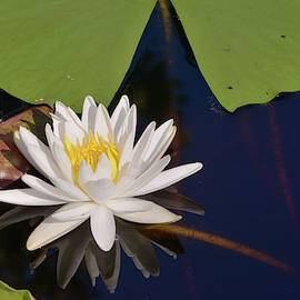 Fragrant Water Lily by Bradford Martin
