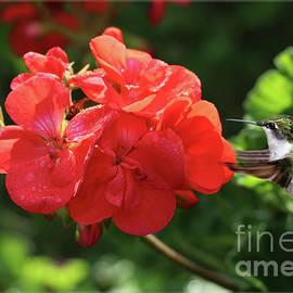 Framed Red Begonia and Hummingbird by Sandra Huston