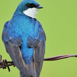 Francis Point Tree Swallow by Jestephotography Ltd