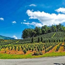 Fraser Fir Pine Tree Farm by Dennis Baswell