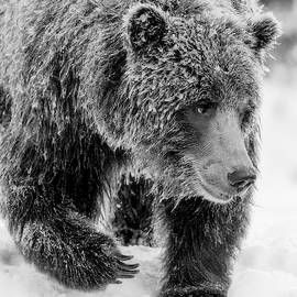 Frosty grizzly bear by Murray Rudd