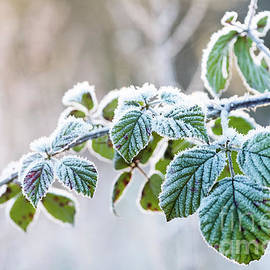 Frosty Leaves by Keith Morris