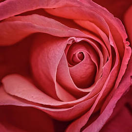 Full Bloom Close Up by Robert Bales