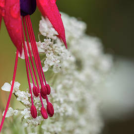 Fuschia And Queen Anne's Lace by Robert Potts