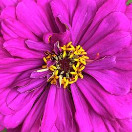 Fuschia Bloom by Cindy Greenstein