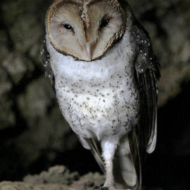 Galapagos Barn Owl by Catherine Sherman