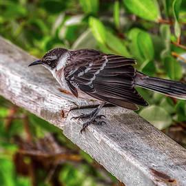 Galapagos Mockingbird by Donald Lanham