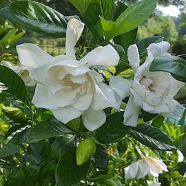 Gardenia Country Peek by Pamela Smale Williams