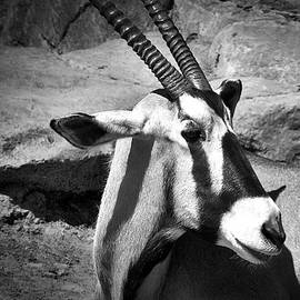Gazelle In Bw by David Resnikoff