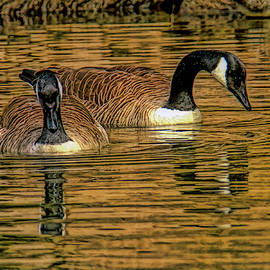 Geese at golden pond by Geraldine Scull