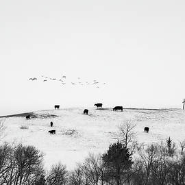 Geese Cross Cattle by Jeff Phillippi