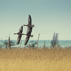 Toby Luxberg - Geese Flight Formation