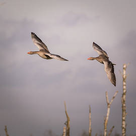 Toby Luxberg - Geese Flight