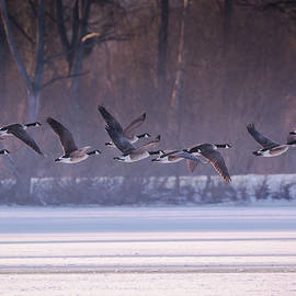 Toby Luxberg - Geese Take Off