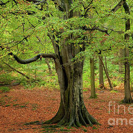 Gelt Woods ancient beech by Gavin Dronfield