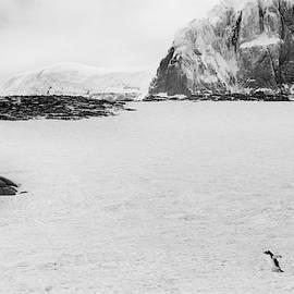 Gentoo Penguin Antarctica by Lauri Novak