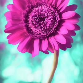 Gerbera Daisy Hot Pink by Carol Japp