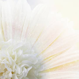 Gerbera Light Blush by Terry Davis