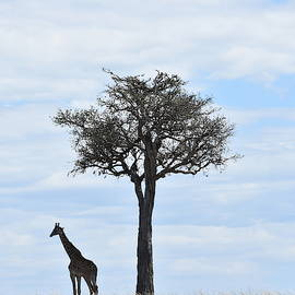 Giraffe And Tree  by Marta Kazmierska