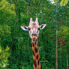 Giraffe Looking For Food During The Daytime. by Rob D Imagery