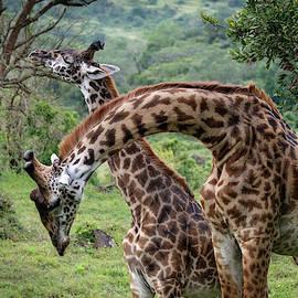 Giraffes Neck Wrestling by Mary Lee Dereske