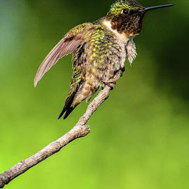 Gleaming Ruby-throated Hummingbird by Cindy Treger