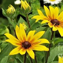 Gloriosa Daisies        June         Mishawaka Riverwalk Garden         Indiana by Rory Cubel