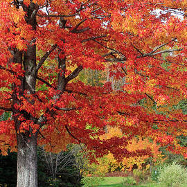 Glorious Sugar Maple in Autumn by Barbara McMahon