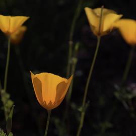 Glowing Orange Poppy Flowers by Ruth Jolly