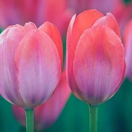 Glowing Pink Tulips by Susan Rydberg