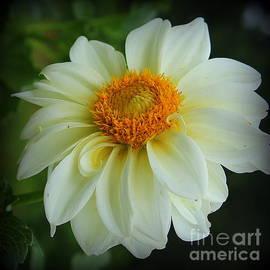 Glowing White Dahlia by Dora Sofia Caputo Photographic Design and Fine Art
