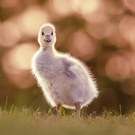 Glosling - The Glowing Gosling by Roeselien Raimond