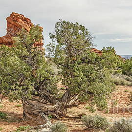 Gnarled Juniper Trees Against Red Sandstone by Sue Smith