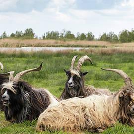 Goats  by Anjo Ten Kate