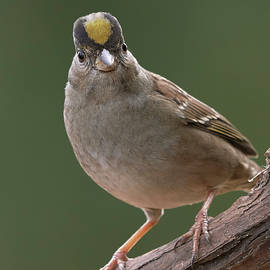 Golden-crowned Sparrow, Sacramento County California by Doug Herr