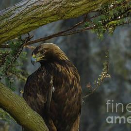 Golden Eagle by Linda Howes