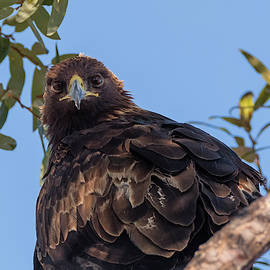 Golden Eagle Looking at You by Loree Johnson