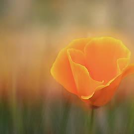 Golden Hour Poppy by Terry Davis