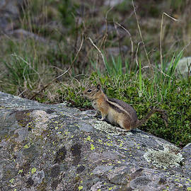 Golden-mantled Ground Squirrel - 7003 by Jerry Owens