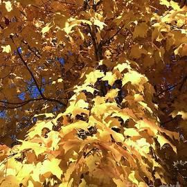 Golden Maple by Ann Brown