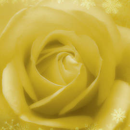 Golden Rose And White Snow by Johanna Hurmerinta