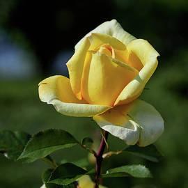 Golden Tower rose by Jouko Lehto