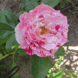 Good Morning Beautiful Rose by Paul - Phyllis Stuart