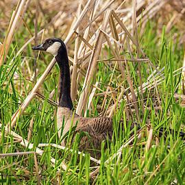 Goose at Edge of Pond by Marv Vandehey