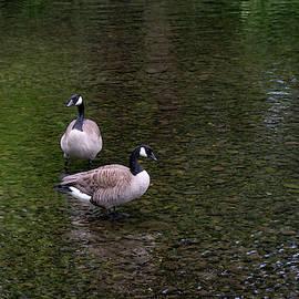 Goose Down by Steven Clark